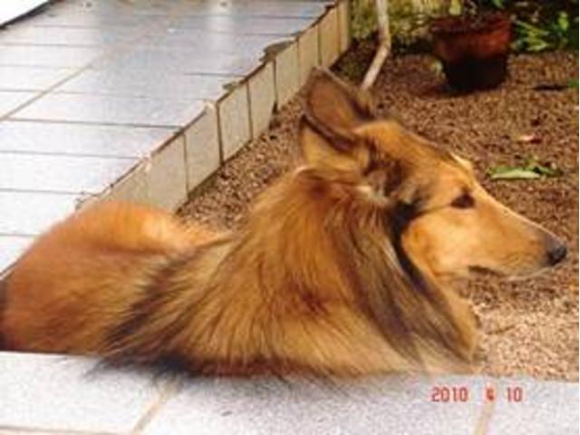 DoaCão: Collie (Lassie), fêmea com 3 anos